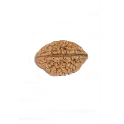2 Mukhi Rudraksha Without Certificate- (RUW02-001) - (INDIA)