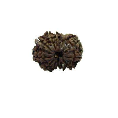 Natural 12 Mukhi Rudraksha With Certificate (RUC12-005)
