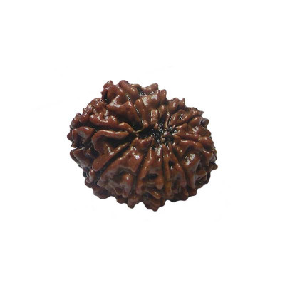 Natural 10- Mukhi Rudraksha With Certificate (RUC10-001/10)