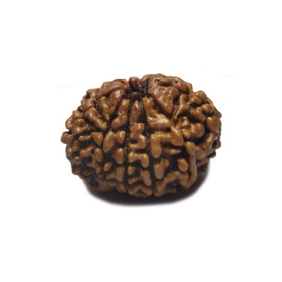 Natural 10- Mukhi Rudraksha With Certificate (RUC10-001/12)