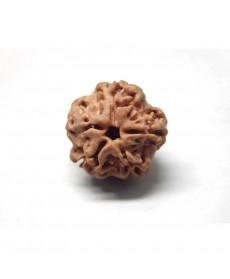One Mukhi Rudraksha buy online, Round shaped rudraksha