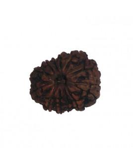 Natural 12 Mukhi Rudraksha With Certificate (RUC12-001)- (NEPAL)