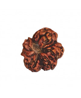 Natural Round One Face Rudraksha (RUR01-009)