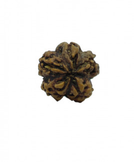 NATURAL 1 MUKHI  RUDRAKSHA With Certificate (RUR01-010)
