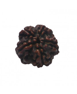 Natural 5- Mukhi Rudraksha With Certificate (RUC05-006)