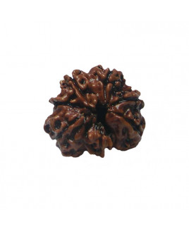 Natural 7- Mukhi Rudraksha With Certificate (RUC07-002/21)