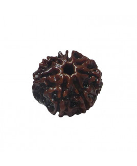 Natural 7- Mukhi Rudraksha With Certificate (RUC07-002/3)