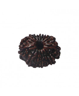Natural 13- Mukhi Rudraksha With Certificate (RUC13-001)