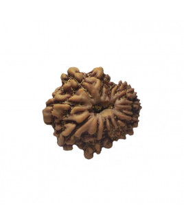 Natural 13- Mukhi Rudraksha With Certificate (RU13-002)