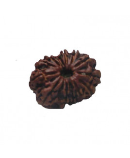 Natural 13- Mukhi Rudraksha With Certificate (RUC13-003)