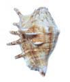 Gaumukhi Shankha (Conch)