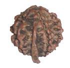Astro Ganesh Rudraksha, ganesh rudraksha
